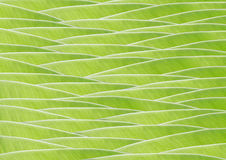 Banana green leaf Stock Photos