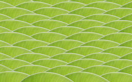 Banana green leaf design wave pattern Royalty Free Stock Images