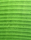 Banana Green leaf detail. Stock Photos