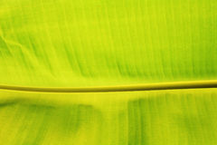 Banana Green leaf textured background Royalty Free Stock Image