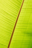 Banana green sunny leaf Royalty Free Stock Photography