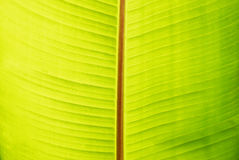 Banana green sunny leaf Royalty Free Stock Images