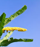 Banana green and yellow color leaves Stock Photography