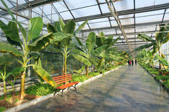 Banana greenhouse stock photos