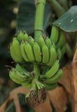 Banana grezza Immagini Stock