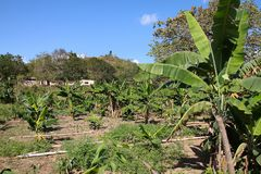 Banana grove in Cuba Stock Image