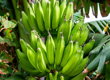 Banana growing on tree. Selective focus. Stock Photos