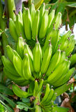 Banana growing on tree. Selective focus. Stock Photo
