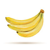 Banana. Hand drawn watercolor, on a white background. Vector illustration Stock Image