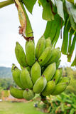 Banana hang on it's tree Stock Photography