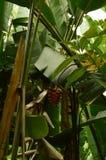 Banana In The Hawaian Jungle. Banana In The Hawaian Jungle Surrounded By Trees. Big Island, USA, EEUU Royalty Free Stock Image