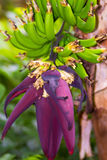 Banana Heart. Banana inflorescence or banana heart is where the flowers develop into banana fruits from a hanging cluster or stem Stock Image