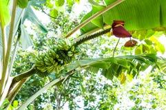 Banana inflorescence Stock Photo