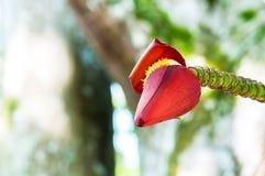 Banana inflorescence Royalty Free Stock Images