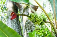 Banana inflorescence Royalty Free Stock Photo