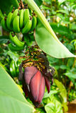 Banana inflorescence and fruit Royalty Free Stock Photo