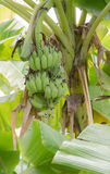Banana in the jungle Stock Images