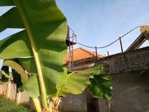 Banana, Kampala, Uganda. A banana plant at the backyard, kampala, uganda royalty free stock photo