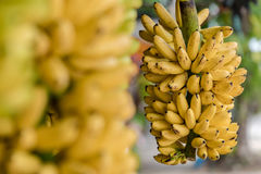 Banana Kluai Khai, Fruit Of KamphaengPhet Province. Stock Photos