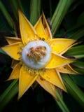 Banana kwiat Zdjęcia Stock