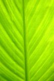 Banana leaf. New tropical green banana leaf royalty free stock photography