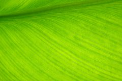 Banana leaf. New tropical green banana leaf royalty free stock image