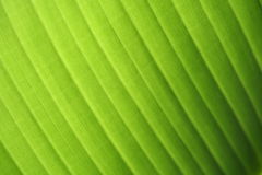 Banana leaf. Texture as backgroungd royalty free stock photo