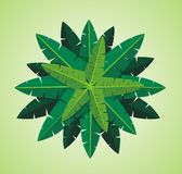 Banana leaf. The picture of the top of banana tree.Decorative plant for an architecture rendering Stock Images