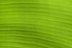 Banana Leaf. Sun light on a banana leaf Stock Image