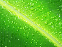 Banana leaf. Close up of a banana tree leaf with raindrops Royalty Free Stock Image