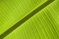 Banana Leaf. Sun light on a banana leaf Royalty Free Stock Photography