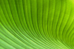 Banana leaf. Closeup of banana leaf as natural background Stock Photos