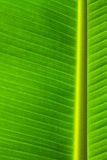 Banana leaf. Banana palm tree green leaf close-up background royalty free stock photos