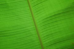 Banana Leaf. Abstract and close-up of banana leaf elements of design Royalty Free Stock Photography