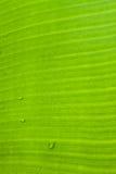 Banana leaf. Banana palm tree green leaf close-up background stock photo