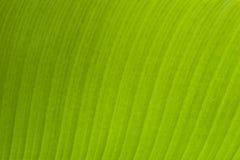 Banana Leaf. Detail of Green Banana Leaf Background Stock Image