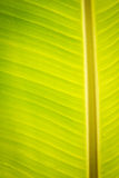 Banana Leaf. Texture of Banana leaf for background stock photos