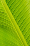 Banana leaf Stock Photography