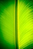 Banana leaf. Abstract banana leaf background and light Stock Photography