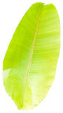 Banana leaf. The banana leaf on white background royalty free stock image