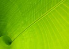 banana leaf 图库摄影