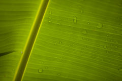 Banana Leaf 2 Stock Photos