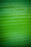 Banana leaf. Stock Photography