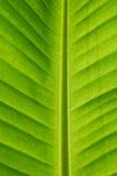 Banana leaf Stock Photography