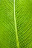 Banana leaf. In tropical forest royalty free stock photos