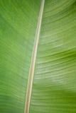 BANANA LEAF. Green background of nature Stock Image