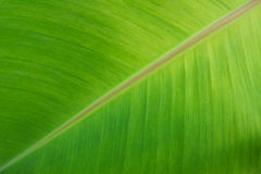 Banana leaf. Close up of fresh green banana leaf stock image