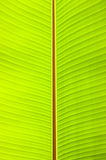 Banana leaf. Light and pattern on banana leaf royalty free stock photos