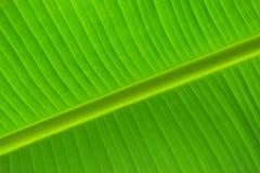 Banana leaf. Closeup banana leaf in Thailand Stock Photography