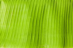 Banana Leaf. Close up of Banana Leaf texture in frame Stock Images